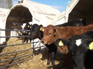 New calves at Billlingsmoor Farm