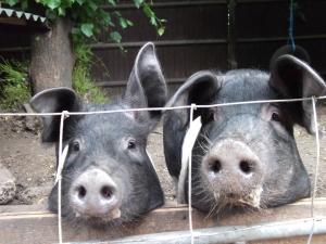 Pair of Porkers