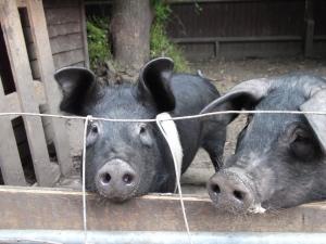 Pig Sisters