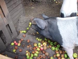 Pigs in apples