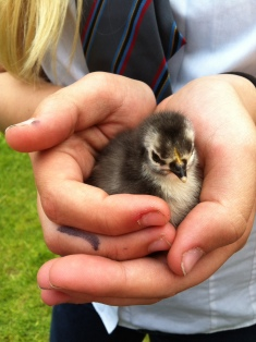 Pekin chick in hand
