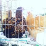 Hens at market