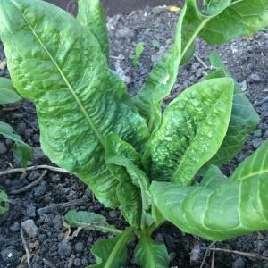 Leaf Chicory